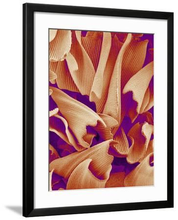 Butterfly Wing Scales, SEM-Susumu Nishinaga-Framed Photographic Print