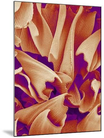 Butterfly Wing Scales, SEM-Susumu Nishinaga-Mounted Photographic Print
