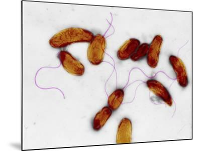 Cholera Bacteria, TEM-Dr. Gopal Murti-Mounted Photographic Print