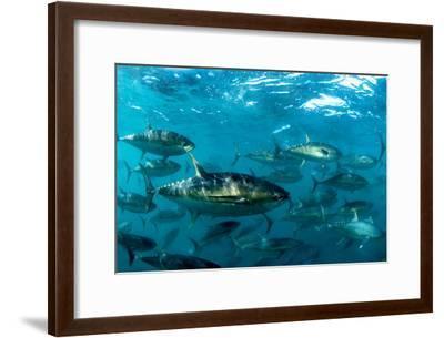 Yellowfin Tuna-Louise Murray-Framed Photographic Print
