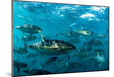Yellowfin Tuna-Louise Murray-Mounted Photographic Print