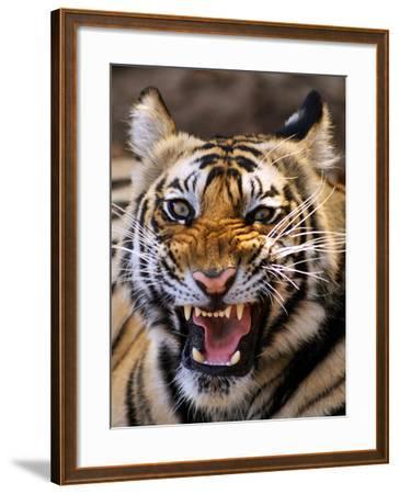 Bengal Tiger (Panthera Tigris)-Louise Murray-Framed Photographic Print