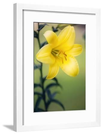 Orienpet Lily (Lilium Sp.)-Maria Mosolova-Framed Photographic Print