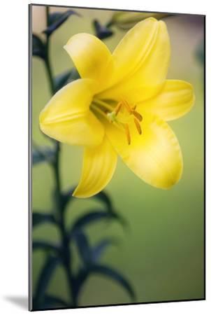 Orienpet Lily (Lilium Sp.)-Maria Mosolova-Mounted Photographic Print