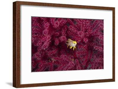 Juvenile Golden Damselfish-Matthew Oldfield-Framed Photographic Print