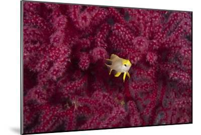 Juvenile Golden Damselfish-Matthew Oldfield-Mounted Photographic Print