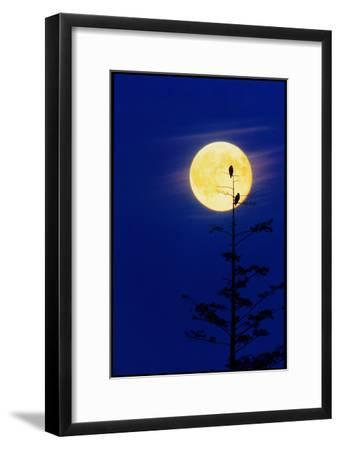 Bald Eagles Silhouetted Against a Full Moon-David Nunuk-Framed Photographic Print