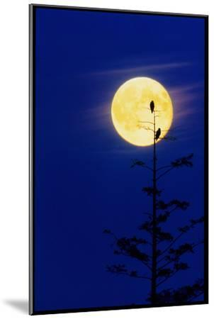 Bald Eagles Silhouetted Against a Full Moon-David Nunuk-Mounted Photographic Print