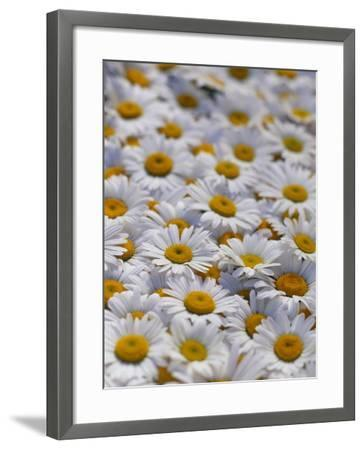White Daisy Flowers-David Nunuk-Framed Photographic Print