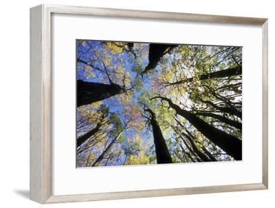 Aspen Trees-Pekka Parviainen-Framed Photographic Print