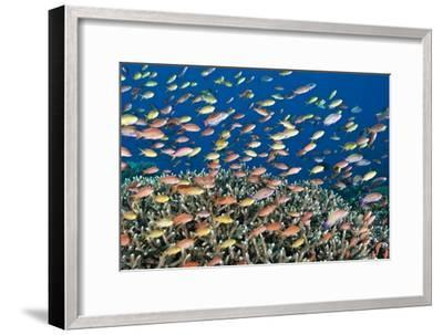 Fairy Basslets Over a Reef-Matthew Oldfield-Framed Photographic Print