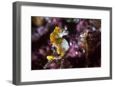 Pontohi Pygmy Seahorse-Matthew Oldfield-Framed Photographic Print