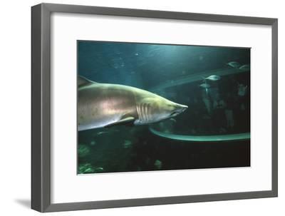 Shark In Aquarium-Alexis Rosenfeld-Framed Photographic Print