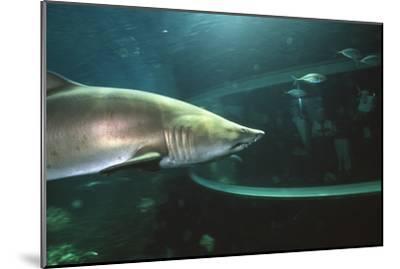 Shark In Aquarium-Alexis Rosenfeld-Mounted Photographic Print