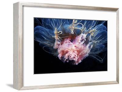 Lion's Mane Jellyfish-Alexander Semenov-Framed Photographic Print