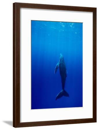 Humpback Whale-Alexis Rosenfeld-Framed Photographic Print