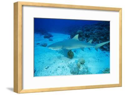 Lemon Shark-Alexis Rosenfeld-Framed Photographic Print