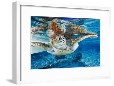 Green Turtle-Alexis Rosenfeld-Framed Photographic Print