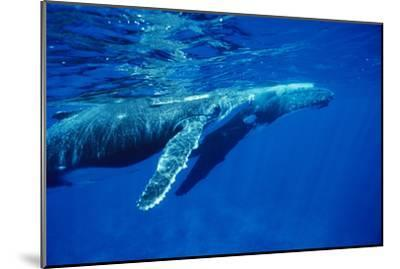 Humpback Whale Baby-Alexis Rosenfeld-Mounted Photographic Print