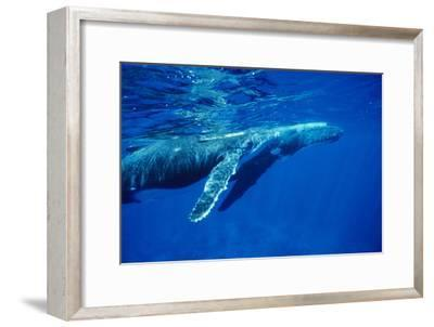 Humpback Whale Baby-Alexis Rosenfeld-Framed Photographic Print