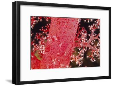 Soft Coral Polyps-Alexis Rosenfeld-Framed Photographic Print