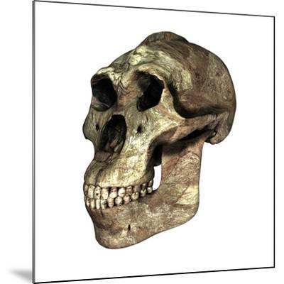 Australopithecus Boisei Skull-Friedrich Saurer-Mounted Photographic Print