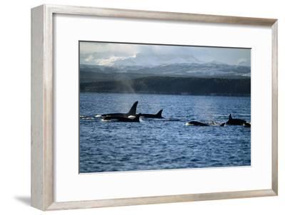 Killer Whales-Alexis Rosenfeld-Framed Photographic Print