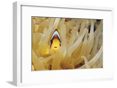 Twoband Anemonefish-Alexis Rosenfeld-Framed Photographic Print