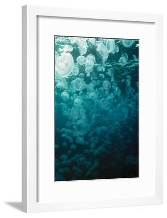 Moon Jellyfish-Peter Scoones-Framed Photographic Print