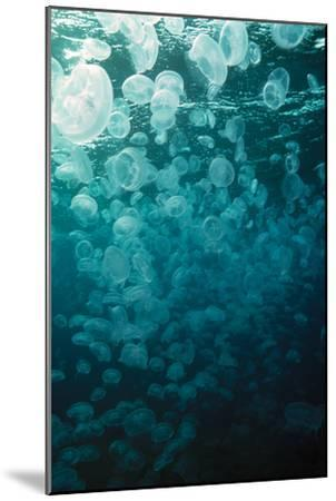 Moon Jellyfish-Peter Scoones-Mounted Photographic Print