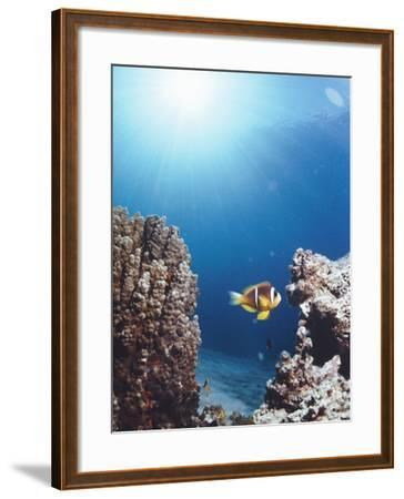 Twoband Anemonefish-Peter Scoones-Framed Photographic Print