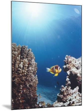 Twoband Anemonefish-Peter Scoones-Mounted Photographic Print