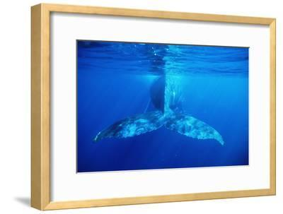 Humpback Whale's Tail-Alexis Rosenfeld-Framed Photographic Print