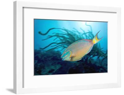 Stoplight Parrotfish Supermale-Peter Scoones-Framed Photographic Print