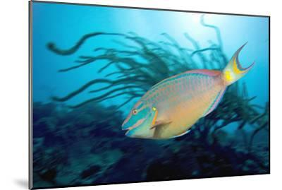 Stoplight Parrotfish Supermale-Peter Scoones-Mounted Photographic Print