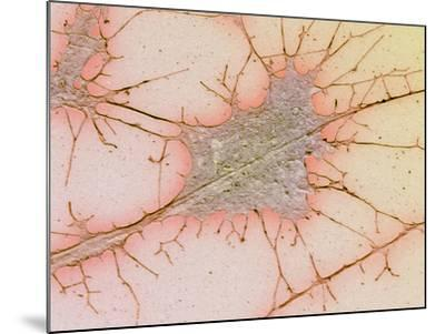 Nerve Cell Culture, SEM-Science Photo Library-Mounted Photographic Print