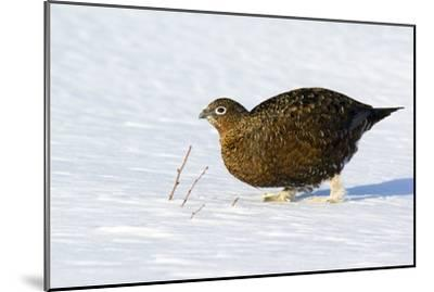 Female Red Grouse In Snow-Duncan Shaw-Mounted Photographic Print