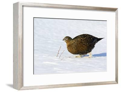 Female Red Grouse In Snow-Duncan Shaw-Framed Photographic Print
