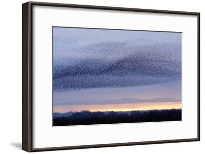 European Starling Flock-Duncan Shaw-Framed Photographic Print