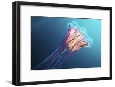 Lion's Mane Jellyfish, Japan-Alexander Semenov-Framed Photographic Print