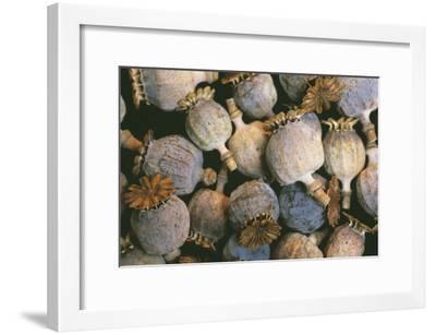 Dried Opium Poppies-Alan Sirulnikoff-Framed Photographic Print