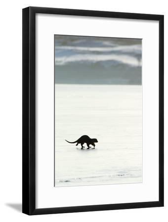 European Otter on Sea Ice-Duncan Shaw-Framed Photographic Print