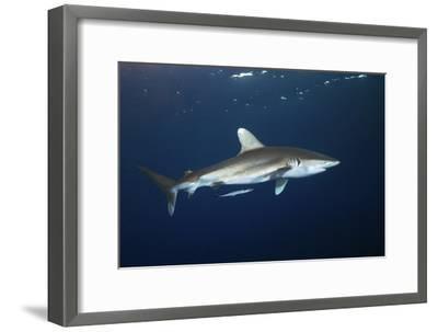 Oceanic Whitetip Shark-Alexander Semenov-Framed Photographic Print