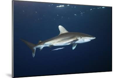 Oceanic Whitetip Shark-Alexander Semenov-Mounted Photographic Print