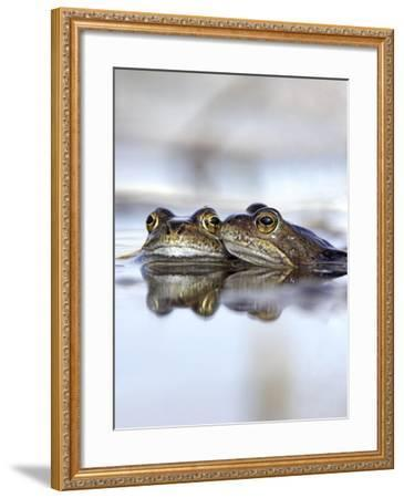 Common Frogs Spawning-Duncan Shaw-Framed Photographic Print