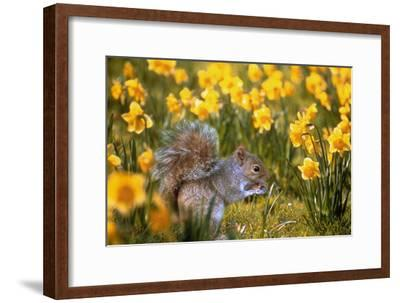 Grey Squirrel Amongst Daffodils Eating a Nut-Geoff Tompkinson-Framed Photographic Print