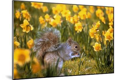 Grey Squirrel Amongst Daffodils Eating a Nut-Geoff Tompkinson-Mounted Photographic Print