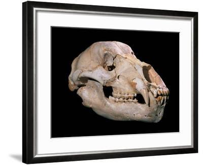 Bear Skull, Sima De Los Huesos-Javier Trueba-Framed Photographic Print