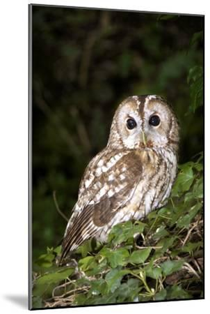 Tawny Owl-Colin Varndell-Mounted Photographic Print