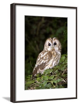 Tawny Owl-Colin Varndell-Framed Photographic Print
